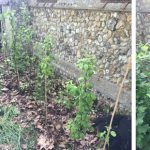 Grafted trees and shrubs